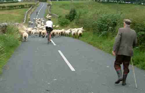 Mark rounding up sheep nr Burton in Lonsdale