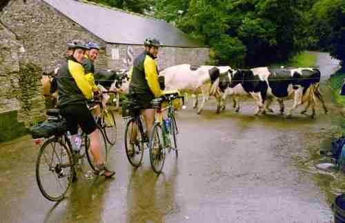 Cows at Goviley Farm nr St Austell-min